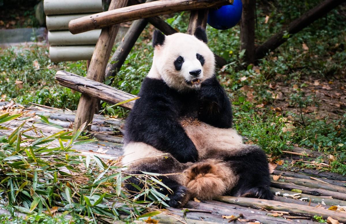 panda-changdu-china-1