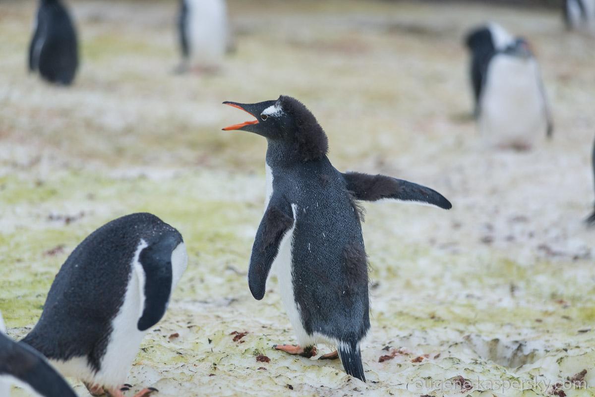 Толстый пингвин фото предлагаем разобраться