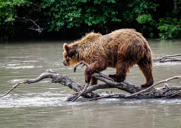 kamchatka-walk-with-bears-1