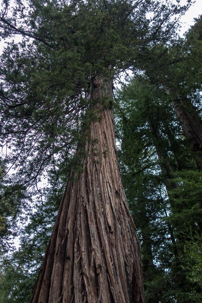 California Big Basin Redwoods State Park
